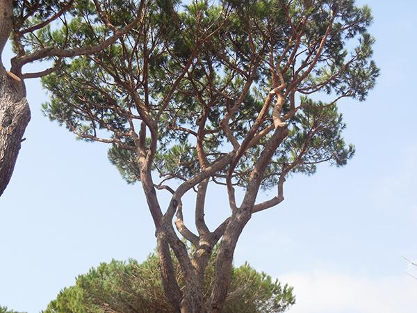 Piante Alto Fusto : Potatura piante alto fusto grosseto aldo brunetti